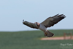 Swainson's Hawk landing sequence - 5 of 13.
