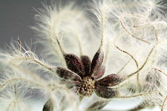 fluffy_little_plant_thing (bozontee) Tags: plant macro nature hair pattern fluff seeds