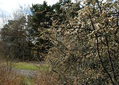 Sln, Prunus Spinosa (annamaart) Tags: flowers spring natur may blommor springtime archipelago maj vr skrgrd stockholmarchipelago stockholmsskrgrd svarts svartsmaj2015