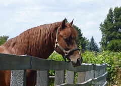 L ( Equus caballus ) (A. Meli) Tags: trees summer horse plant tree nature animal clouds fence tiere outdoor sommer july wolken woodenfence juli zaun llat termszet pferd mammalia l felhk nyr equuscaballus lebewesen sugetiere jlius livingbeing szabadban drausen theria kerts holzzaun unpaarhufer emlsk srny llny dienatur gerinchrosok patsok diemhne pratlanujj elevenenszlk