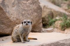 Oh, it's you again (The Wasp Factory) Tags: meerkat tierpark suricate suricatasuricatta erdmnnchen wildpark sababurg wildlifepark tierparksababurg