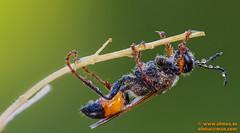 Mosca parasitaria. (avi_olmus) Tags: verano macrofotografa lesmarines moscaparasitaria focusstacking apilado insecto santllorensavall catalua espaa es