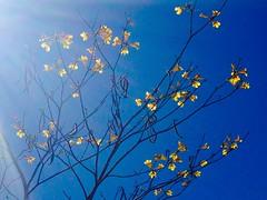 (gzammarchi) Tags: colore giallo curitiba fiore albero brasile inalto
