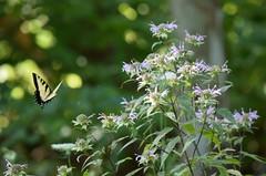Butterfly (robgividenonyx) Tags: butterfly kentucky wildflowers washingtoncounty