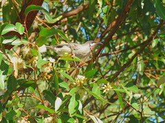 Anthochaera carunculata 5 (barryaceae) Tags: lake innes nature reserve cathie new south wales australia ausbird australianbird red wattlebird anthochaera carunculata