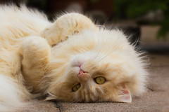 Fluffy Friday (FocusPocus Photography) Tags: linus katze kater cat chat gato tier animal haustier pet fluffy hff