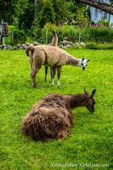 3 Llamas (DSC_9151 vk) (Villi Kristjans - Photos for sale!) Tags: vilmundur vk villi vkphoto kristjansson kristjans kristjáns kristjánsson digital d3200 nikon norway noregur norge norsk color colour summer rogaland animal llama grass