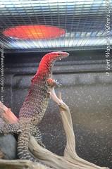 Treurvaraan - Varanus tristis - black-headed monitor (MrTDiddy) Tags: black head reptile indiana monitor headed fortwayne treur varanus reptiel blackheaded fortwaynechildrenszoo tristis varaan reptillian treurvaraan