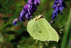 Zitronenfalter (Gonepteryx rhamni) (Hugo von Schreck) Tags: macro butterfly insect outdoor f16 falter makro insekt schmetterling zitronenfalter gonepteryxrhamni yourbestoftoday onlythebestofnature tamron28300mmf3563divcpzda010 canoneos5dsr hugovonschreck