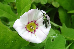 Thick-legged flower beetle (Oedemera nobilis) (bramblejungle) Tags: thicklegged flower beetle oedemera nobilis insect garden