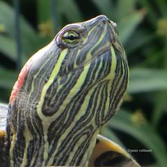 04-IMG_0265 (hemingwayfoto) Tags: berggarten hannover quadrat schildkrte tier tierauge tierdetail wildetiere