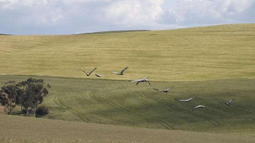 Blue Cranes over Wheat Fields II