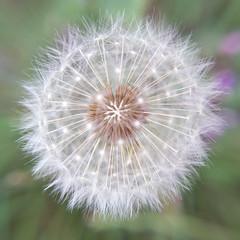 Dandelion (Explored) (Nicki Ki) Tags: dandelion wishingflower wildlife flora nature fairy seeds