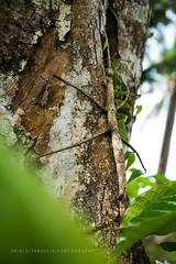 The Stick Insect (ariel gitana) Tags: sorsogoncity bicol albay mayonvulcanobaconsorsogonarielgitanaphilippinelandscapericefieldkabataangpinoyteampinaspinoyphotographerchangeiscomingpanorama macro bicolanos happiness childportraitfilipinoculturephilippinetraditioncoconuttreesbuko niyog palay mtpulogsorsogoncitybaconsorsogon luksongbaka sawsawsuka palarongpinoy laronglahi larongbatangpinoy shallowdepthoffield macrotips changeiscoming teampinoy landscapetips arielgitana nikond7100sampleshot tamron18200mm howtobeagreatphotographer pinoylandscapephotographer landscapeinbicol southluzon bestshotever cloudsandfields