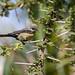 Unidentified sunbird, Debre Zeit area, Ethiopia