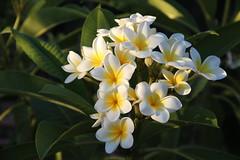 Felice domenica e buon ferragosto!!!! (Anfora di Cristallo) Tags: plumeria frangipane