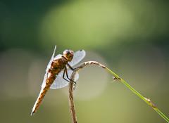 Dragonfly (kevinwolves) Tags: dragonfly insect nature wildlife closeup baggridgecountrypark baggeridge nikon nikond300 nikkor55200mm kevinwolves
