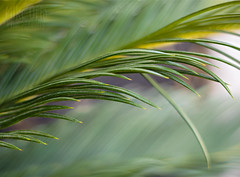 Sago Genesis (mikeSF_) Tags: cycad sago palm fern frond branch leaves bokeh shallow depthoffield dof aperture super takumar 50mm 14