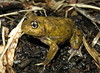 Painted Trilling Frog (Neobatrachus pictus) (Heleioporus) Tags: painted trilling frog neobatrachus pictus clare valley south australia