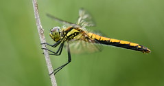 Black darter (f) (nick edge) Tags: dragonfly dragonflies tregaron tregaronbog corscaron insect macro macrophotography wildlife wildlifephotography nature naturephotography nikon nikond7200 sigma105mm bokeh wales