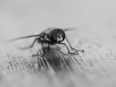 Qu ojos tan grandes tienes... (Luicabe) Tags: aielibre animal blancoynegro cabello dptero enazamorado exterior insecto luicabe luis macrofotografa monocromtico mosca naturaleza profundidaddecampo yarat1 zamora ngc dptero macrofotografa monocromtico