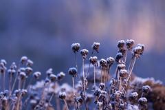 ckuchem-6345 (christine_kuchem) Tags: blten eiskristalle frost garten kristalle nahrung naturgarten samenstnde stauden vogelnahrung vogelschutz vgel wildgarten winter wintergarten winternahrung naturbelassen naturnah natrlich reif schnee berzogen