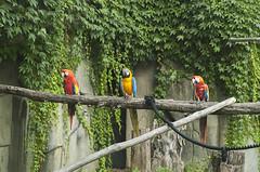 Ara Macao (querin.rene) Tags: renquerin qdesign parcolecornelle parcofaunistico lecornelle animali animals ara pappagallo aramacao