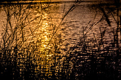 Golden Lake (*Capture the Moment*) Tags: backlight blumen bokeh dof depthoffield gegenlicht natur pflanzen sonne sonnenuntergang sonynex7 sun sunset trioplan28100neo wetter gold golden