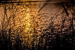 Golden Lake (*Capture the Moment*) Tags: backlight blumen bokeh dof depthoffield gegenlicht natur pflanzen sonne sonnenuntergang sonynex7 sun sunset trioplan28100neo wetter gold golden