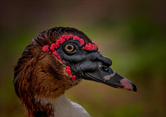Howard the Duck (kathybaca) Tags: explore animal animals duck ducks birds aves water webbed ugly muscovy florida male feathers fly nature earth planet lake