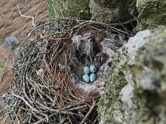 IMG_1549 (JMarshall78) Tags: nests nest birds ornithology wildlife devon