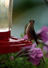 Ruby-throated Hummingbird (Kurt Grenig) Tags: hummingbird bird ruby ohio birds feeders