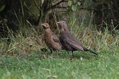 Mother and child doing well :) (Kay Musk) Tags: blackbird turdusmerula wildlife wild nature bird gardenwildlife garden essex uk nikond3200 young fledglings ngc npc