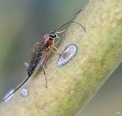 Ichneumon (2). (gille33) Tags: gillesremus nature macro insecte insect insectes nikond810 sigma150 ichneumon ichneumonidae