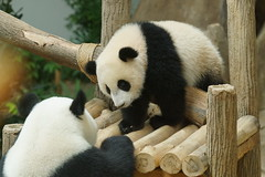 10-month-old (almost) Nuan Nuan and mother Feng Yi aka Liang Liang 2016-06-16 (kuromimi64) Tags: zoonegara malaysia   zoo nationalzoo zoonegaramalaysia kualalumpur  bear   panda giantpanda     fengyi  liangliang nuannuan