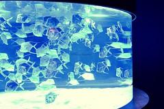Monterey Bay Aquarium, California (Helene Iracane) Tags: californie california usa sea ocean fish silver blue bleu swim swimming aquarium tank fishtank light poisson poissons water
