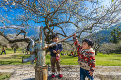 Harry_23327,,,,,,,,,,,,,,,,,,,,,,,,,,,,Plum,Plum Tree,Tree,Fruit,Farm (HarryTaiwan) Tags: tree fruit nikon farm plum taiwan     plumtree d800                            harryhuang  hgf78354ms35hinetnet  adobergb