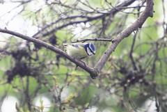 Blue Tit(Cyanistes caeruleus) (jdathebowler Thanks for 905,000+ views.) Tags: bluetit passeriformes cyanistescaeruleus fantasticnature