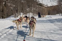 DSC03437_s (AndiP66) Tags: schnee winter dog snow mountains alps schweiz switzerland husky tour suisse sony berge alpen sled wallis eskimo valais sledge vallais oberwallis goms schlittenhunde hundeschlitten oberwald obergoms andreaspeters dscrx100ii rx100ii rx100m2 dscrx100m2 obergomsvs
