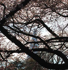 (Freydert Z.) Tags: flower japan skyscraper cherry tokyo shinjuku blossom  sakura  hanami shinjukugyoen