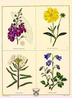 Verbascum phoeniceum, Coreopsis lanceolata, Ledum palustre, and Campanula persicifolia [as Campanula pumila] The botanic garden vol. 1 (1825)