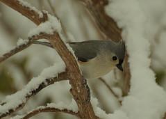 Waiting for Spring,.,.,.,.,. (l_dewitt) Tags: titmouse tuftedtitmouse backyardwildlife backyardbirds backyardbirdwatching titmousephotos tuftedtitmousephotos titmouseimages