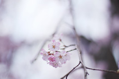 Dreaming (bambooland) Tags: travel pink flower japan canon tokyo spring pretty dof blossom bokeh bloom sakura cherryblossoms dreamy