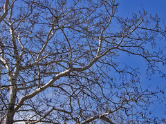 Branch shaping (gtsimis) Tags: blue winter sky plants tree nature march branch shapes athens greece kefalari kifisia