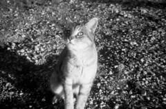 23. Jasper 2 (motagirl2) Tags: winter blackandwhite bw valencia analog cat 35mm photography lomography spain kitten jasper kitty samsung 400 plus hp5 ilfordhp5plus400 ilford analogphotography sunbathing yecla samsungfino115s