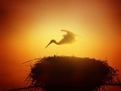 IMG_3088 ethereal sunset stork (pinktigger) Tags: sunset italy bird nature silhouette wow italia ethereal stork cegonha cigea friuli storch ooievaar fagagna cicogne cicogna oasideiquadris feagne