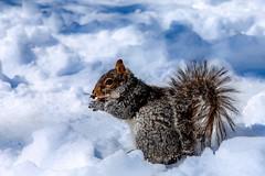 Winter  on Central Park New York #squirrel  #snow #winter #centralpark #manhattan #newyork #hdr #nyc (lelobnu) Tags: nyc winter snow newyork squirrel centralpark manhattan hdr