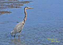 Great Blue Heron at Edwin B Forsythe National Wildlife Refuge in Galloway (commonly referred as Brigantine) New Jersey (takegoro) Tags: blue b heron nature birds landscape wildlife great wetlands marsh brigantine preserve sanctuary edwin refuge galloway nwr new jersey national refuge forsythe