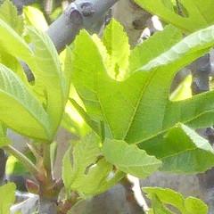 fig tree P1030928 (omirou56) Tags: sunlight tree green nature sunshine l