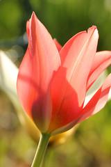 Imprressionistic Tulips (gripspix off now!.) Tags: flower blossom petal tulip bloom translucent backlit blume blte gegenlicht tulpe durchscheinend bltenblatt 201